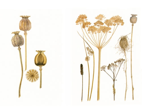 fieldseedheads & poppy seed