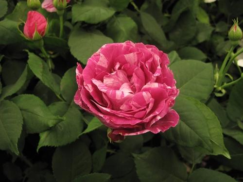 da roses02