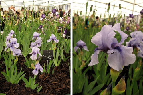 Irises 01