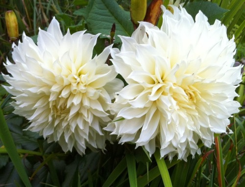 Dahlia- White Perfection